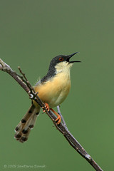Ashy Prinia singing ~ Dive Ghat (The Eternity Photography) Tags: india bird tourism canon asia wildlife maharashtra 2009 pune digitalphotography ghat supertelephoto supertele indiatourism wildlifephotography wildindia indianwildlife ashyprinia priniasocialis incredibleindia westindia canonllens 840mm weekendshoot iloveindia 40d canon600mm cisticolidae maharashtratourism puneoutskirts canoneos40d canon40d visitindia diveghat natureislovely canonef600mmf4lisusm santanubanik theeternity ashywrenwarbler ef600mmf4lisusm14x birdinginthewild savethewildlife     iloveindianwildlife    wwwfrozenforeternitycom birding840mm diveghattrip smallwarbler tadka09wk36