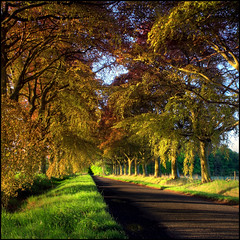 Copper Beech Avenue (angus clyne) Tags: road scotland path perthshire scone avenue copperbeech flikcr beechtrees stormount colorphotoaward copperbeechtrees obramaestra