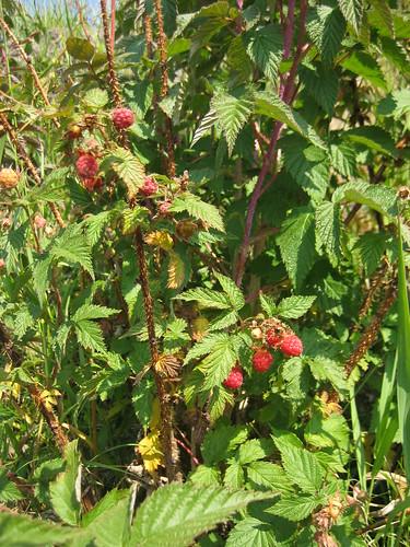 Raspberry hunting 009