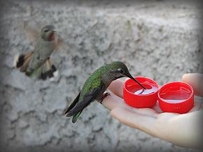 Anna's Hummingbird hand091