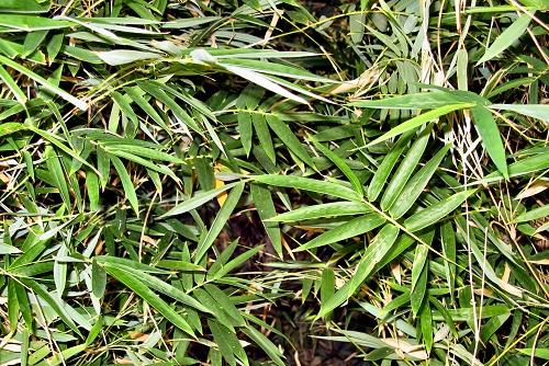 Pseudosasa japonica (rq) - 03