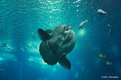 Mola mola (Nuno-Gomes) Tags: life light sea water aquarium interesting fantastic bestof underwater shot lisboa lisbon great best explore greatshot colored cave oceanarium oceanario nunogomes excelent oceanriodelisboa platinumheartaward 100commentgroup grouptripod artofimages bestcapturesaoi mygearandmepremium mygearandmebronze mygearandmesilver mygearandmegold mygearandmeplatinum mygearandmediamond ngomes