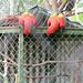 curious macaws