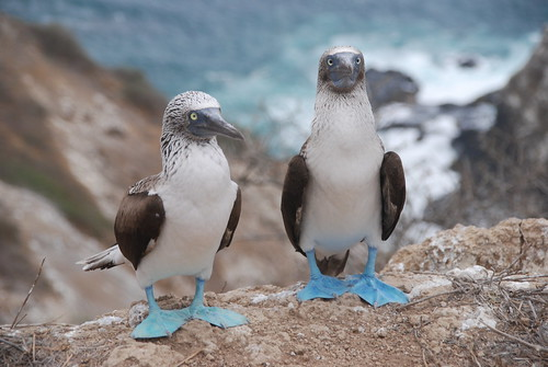 Awkward Blue-Footed Boobies