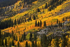 Golden Hillside on the South Fork. Bishop Creek, CA  September 27, 2009 (Robert Pearce Photography) Tags: california red orange tree fall yellow landscape golden grove sierra september fallfoliage aspen bishop easternsierra nikond200 bishopcreek robertpearce sierrasolstice robertpearce
