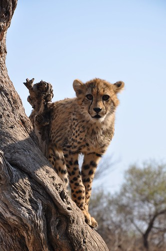 Baby Cheetah on Tree