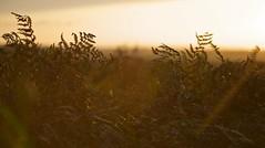 Sunset ferns (BinaryApe) Tags: uk sunset plants sunlight wales golden evening twilight bangor ferns gwynedd ef28135mmf3556isusm llanddeiniolen