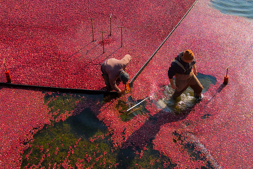 Old Forge Farm - Cranberry harvesting