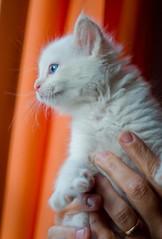 one of the babies (utski7) Tags: orange white beautiful animal kitten domestic precious blueeye adoption