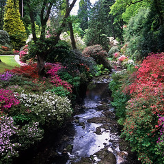 Bodnant Gardens, Conwy, Wales, UK | River banks covered in kaleidoscopic colors of azaleas (15 of 15)