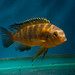Tropheops sp. 'mauve yellow' Magunga Reef