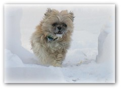 Fred loves snow (Luiz Felipe Castro) Tags: winter copyright dog baby snow storm cute home wisconsin puppy us backyard photographer forsale sweet gorgeous shihtzu handsome fred lovely fotografo litte reservado luizcastro luizfelipecastro luizfelipedasilvadecastro aplusphoto