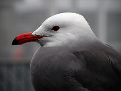 Heermann's Gull (Mary Angelini Photography) Tags: ocean sanfrancisco california sea bl