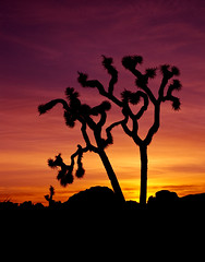 Lonely Joshua Tree Sunset (Bill Wight CA) Tags: california park travel sunset usa tree tourism monument silhouette rock america sunrise landscape nationalpark flora scenery rocks unitedstates desert outdoor unitedstatesofamerica scenic joshuatree rocky reserve conservation dry american vegetation northamerica destination environment weathered wilderness habitat desolate barren protection preserve arid deserts yucca rugged nationalmonument americanwest joshuatrees vastness mojavedesert ecosystem yuccabrevifolia rockformation joshuatreenationalpark farwest destinations landform dryness traveldestinations colorfulsky beautyinnature aridity westernunitedstates barerock woodyplant managements billwight aridities sensitivenaturalareas