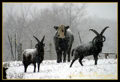 Body Guards (John Barrie Photography) Tags: cow rams picnik bodyguards masonohio animalsinsnow barnlife johnbarrie johnbarriephotography longhornrams velocityphotography
