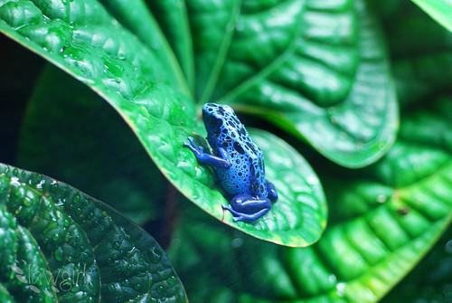 ABG_poison_dart_frog[2009]