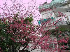 sakura。東區巷內一株櫻花樹。