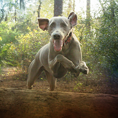 c e l e b r a t e (saikiishiki) Tags: park winter dog lake silly tree cute love smile smart tongue forest square fun happy fly orlando amazing jump eyes woods friend play florida joy adorable ears run best explore weimaraner jungle fallen kawaii dogpark fleet seen celebrate 2009 baldwin wiggle omoshiroi weim mukha peeples 652 20f thelittledoglaughed 52weeksfordogs 52weeksofmukha