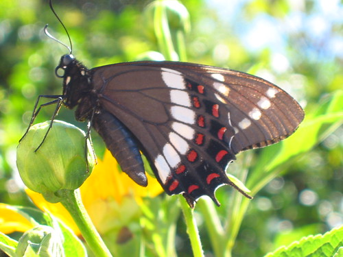 animals insects butterflies black green