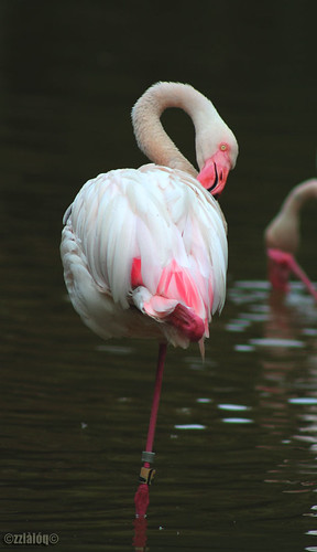 Flamingo on one feet