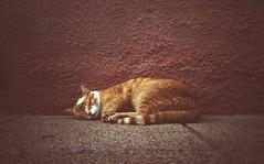 Still sleeping (bricolage.108) Tags: film cat sleep olympus vista xa agfa expired
