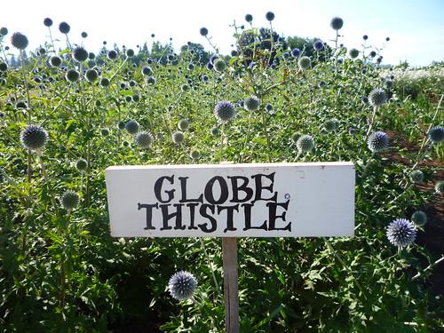 globe thistle