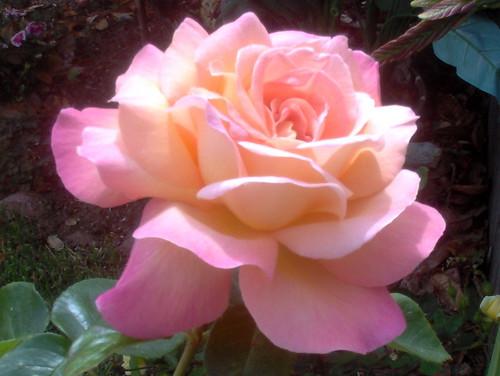 pict0834 Pink Rose