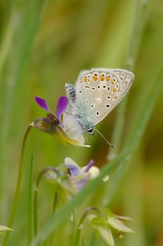 Polyommatus icarus | Icarusblauwtje - Common blue