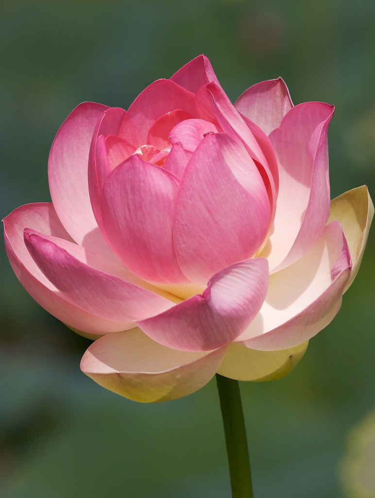Pink-tipped lotus