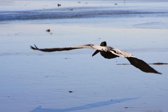 080309_pelicanTakeoff02
