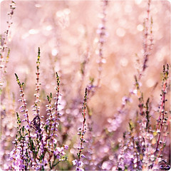 Pink Heather Bokeh Time :D (~ Maria ~) Tags: pink flowers summer sweden bokeh heather sunny ljung nikond90 happybokehwednesday