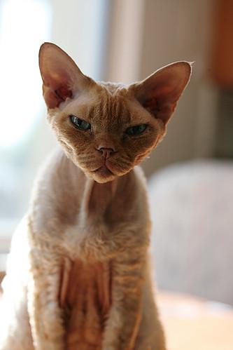 フリー画像| 動物写真| 哺乳類| ネコ科| 猫/ネコ| デボンレックス|      フリー素材|