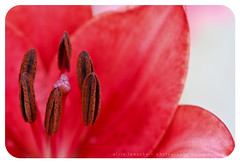 closer to you - explored :) (alvin lamucho ) Tags: red macro closeup dof lily magenta stamens pollen redflower closetoyou canon450d rebelxsi alvinlamucho