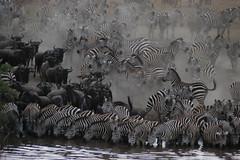 Watering hole (jwalkr4) Tags: 2005 africa tanzania nikon safari zebra d100 wildebeest