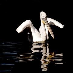 Pelican (Kirsten M Lentoft) Tags: lake reflection bird water copenhagen denmark zoo pelican onblack bej infinestyle avianexcellence theunforgettablepictures thesuperbmasterpiece kirstenmlentoft magicunicornverybest