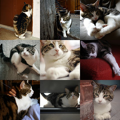 foster home needed (montreal & area) (tamjpn) Tags: cat montreal emma help