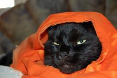 headscarf cat (surfingstarfish) Tags: pet animal cat sylvester head muslim islam headscarf clothes katze haustier tier kopftuch kopf moslem bekleidung