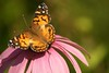 Wings (hotes trinkets/DaydreamingKat) Tags: ohio summer vanessa flower nature butterfly wings natural bokeh closeups americanlady bej straightfrommycamera nocolorsadded sonyalphadslra700 ubej absolutelynatural butterfliesourplace hotestrinkets