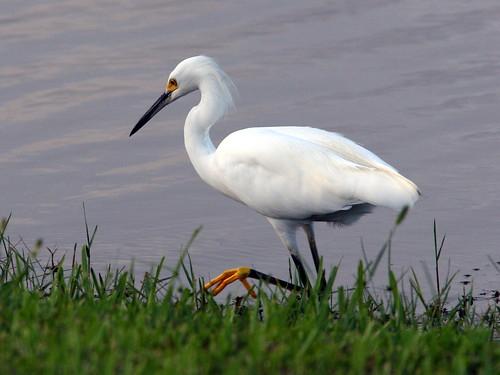 Snowy Egret 3-20090829