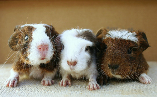 Baby Guinea pigs by Sarah ♡