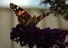 Painted Lady butterfly feeding (phunkymunky) Tags: butterfly paintedlady