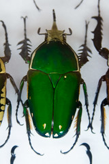 CD417 Green Scarab (listentoreason) Tags: usa color green nature animal closeup america canon insect newjersey unitedstates beetle favorites places animalia arthropoda scarab invertebrate arthropod coleoptera scarabbeetle tomsriver insecta scarabaeidae pterygota neoptera endopterygota ef28135mmf3556isusm score30 bugmuseum scarabaeoidea insectropolis bugseum