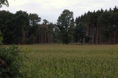 Corn Field on My Walk