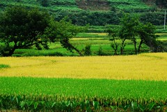 Yellowish green (Melinda ^..^) Tags: china plant tree green field rural countryside village chinese fresh mel melinda corp hunan     chanmelmel