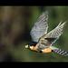 halcón perdiguero vuelo por José de Pablo