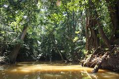 Mangrove forest, Tasik Chini, Malaysia (sensaos) Tags: people lake asia south east malaysia tribe kampung orang melayu maleisie zuid azie oost chini azië tasik asli maleisië jakun gumum
