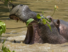 Uganda, Ishasha. (richard.mcmanus.) Tags: africa hippo uganda mcmanus queenelizabethnationalpark supershot naturepool natureall specanimal ishasha crazynature wildlifeshots naturegreenstar naturescreations worldnatureclose addictednature gpsetest
