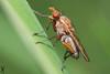 Diptère NI (Haentjens Raphaël - Macropixels) Tags: macro nature beautiful up closeup wow insect close belgium belgique magic best stunning excellent magical arthropods arthropoda insecte diptera raphaël macrophotography wallonie macrography insecta hexapoda pterygota eukaryotes bilateria ecdysozoa neoptera endopterygota macrophotographie stuning eukaryota specanimal diptère macrographie dipterous haentjens macropixels protostomia mandibulata bilaterians protostomes ecdysozoans panarthropoda dicondylia atelocerata panhexapoda panorpida