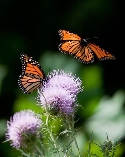 フリー画像| 節足動物| 昆虫| 蝶/チョウ| オオカバマダラ| アザミ|      フリー素材|