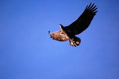 Juvenile Bale Eagle